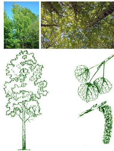 Деревьев местных и экзотических пород